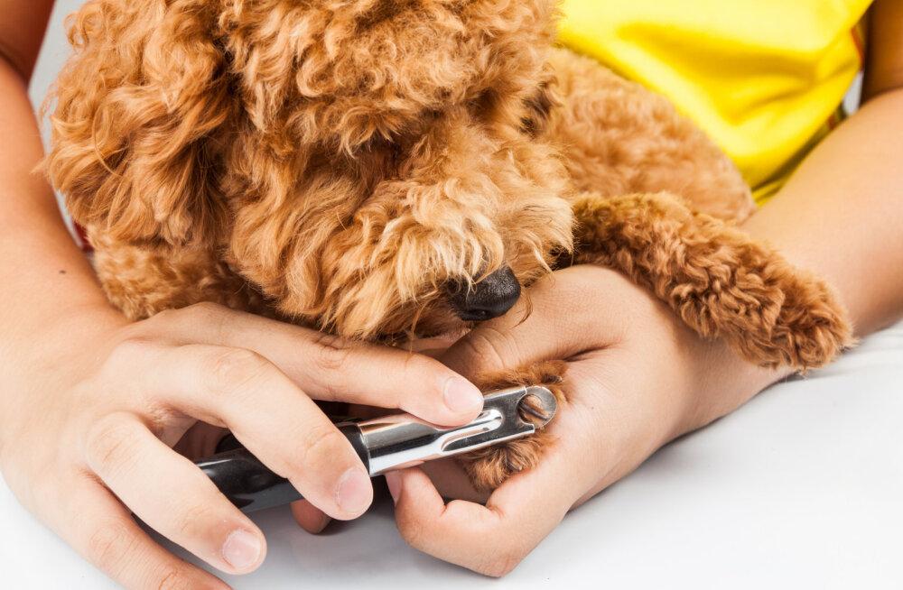 Loomaarst aitab: kuidas oma lemmikloomal muretult küüsi lõigata?