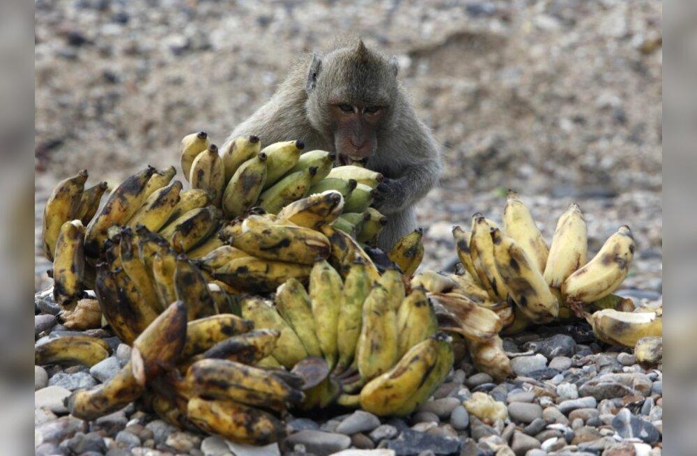 Poola jõudnud banaanides oli hiigelkogus kokaiini