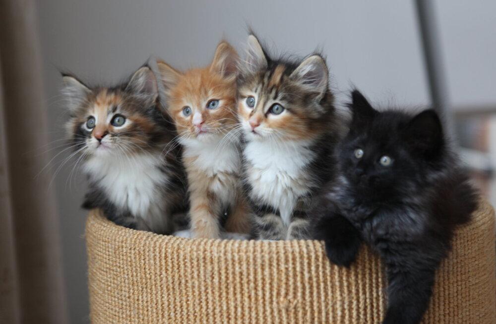 Lemmikloom varjupaigast: kas valida kassipoeg või täiskasvanud kass?
