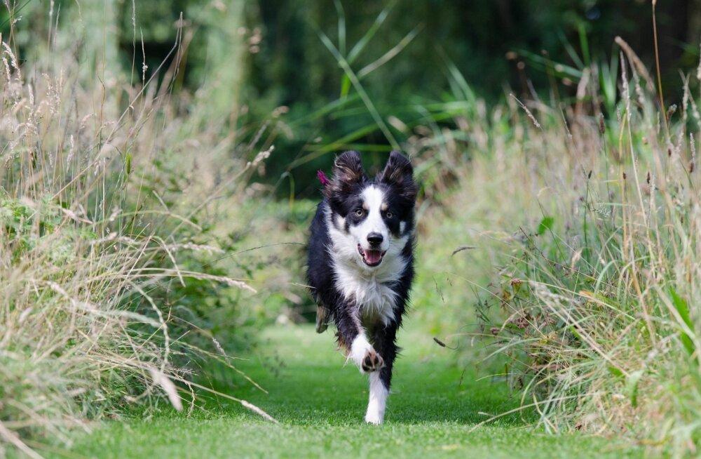 Miks on paljudel koertel kalduvus aiast minema joosta? Kuidas neid peatada?