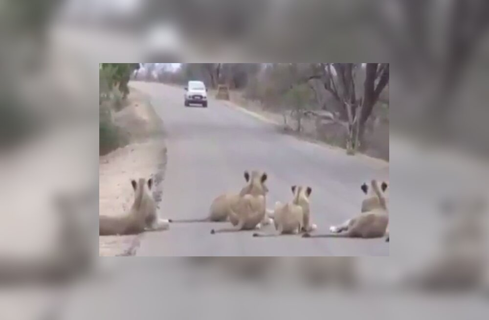 VIDEO   Lõvid blokeerivad Krügeri rahvuspargis tee ega mõtlegi lähenevatest autodest välja teha