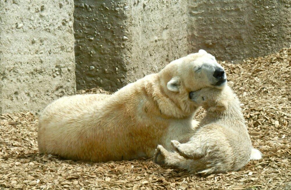 On alles emmed! 5 muljetavaldavat looma, kes hoolitsevad oma laste eest tõeliselt hästi