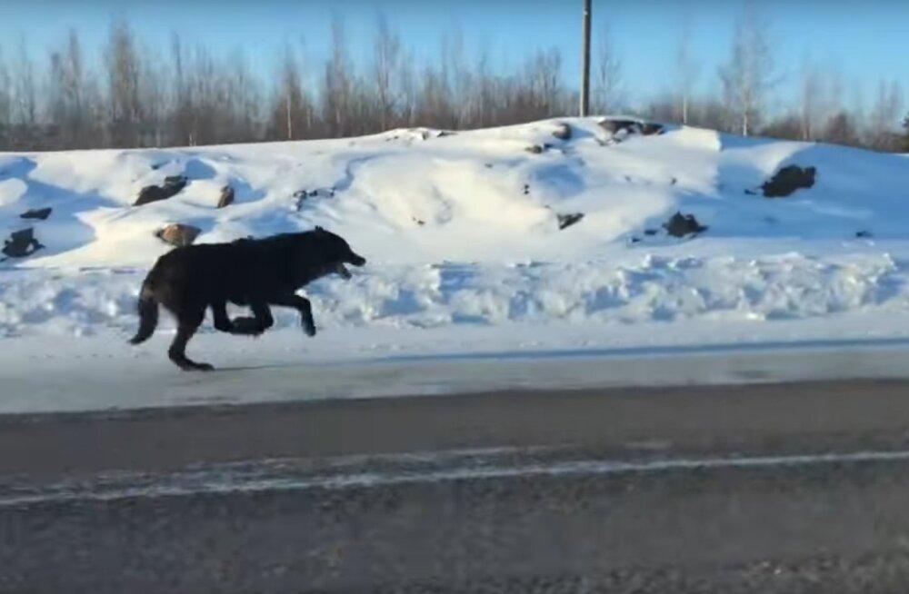 Kullafondi VIDEO   Haruldane vaatepilt: naine filmis kahte massiivset hunti täiskiirusel tema auto kõrval jooksmas