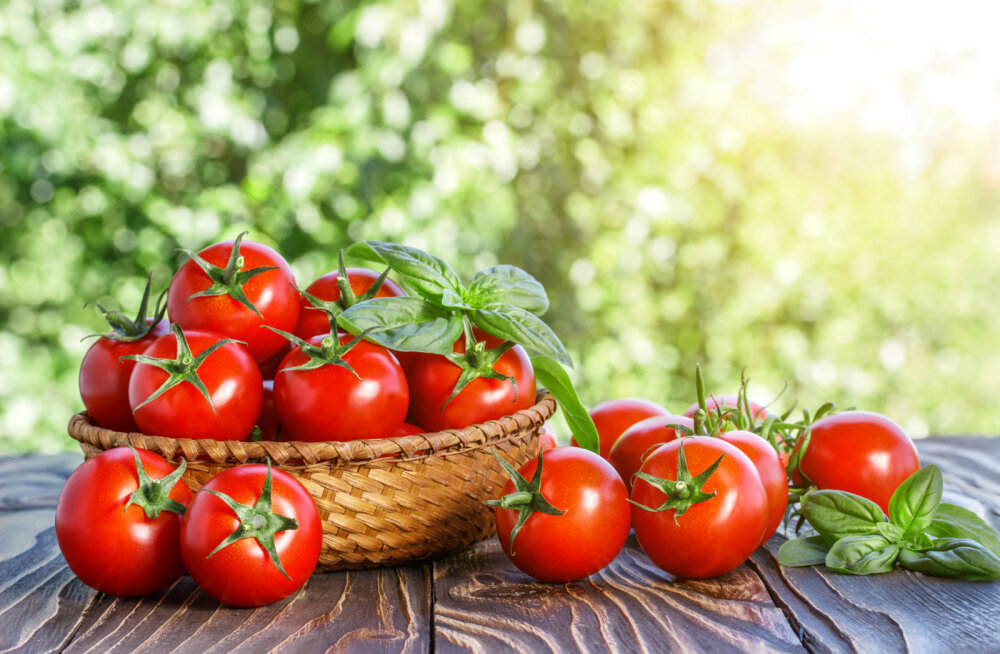 Aegumatuid nippe tomatite kasvatamiseks