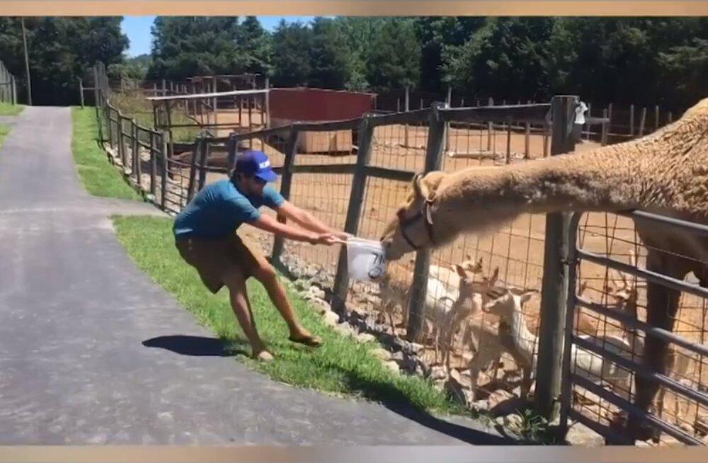 VIDEO | Issanda loomaaed on kirju: mõtle hoolikalt enne, kui looma torkima lähed
