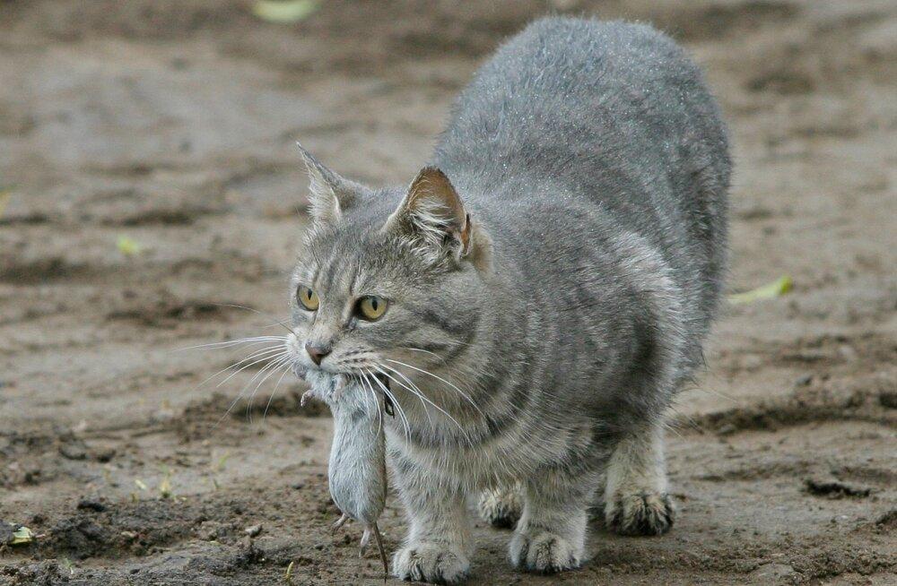 Kas ta läheb paksuks ja lõpetab hiirejahi? Faktid, mida pead teadma kassi steriliseerimise kohta