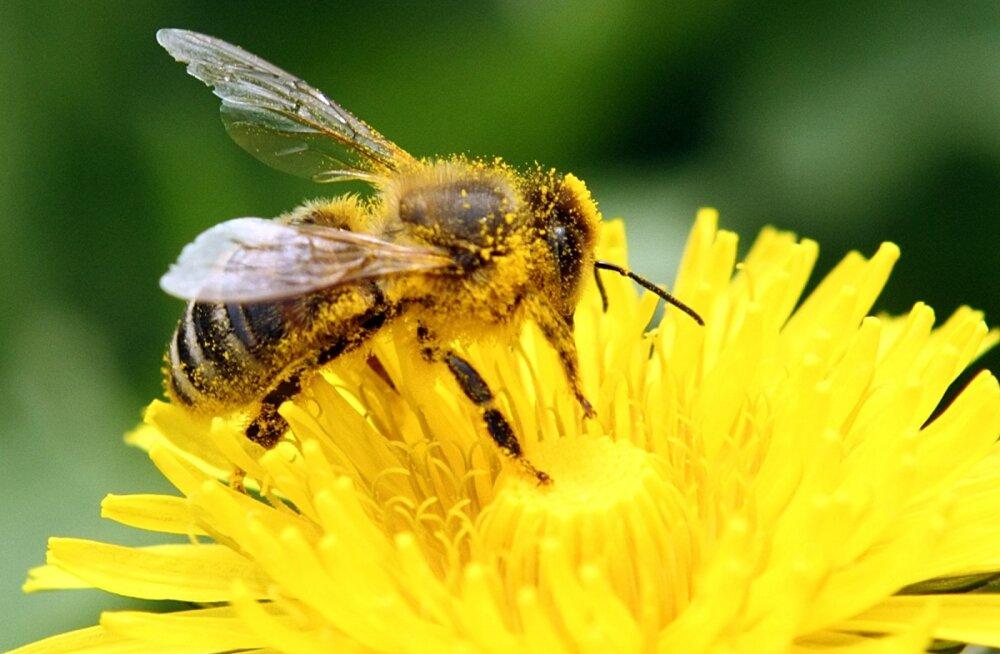 Taimekaitsemürgid võivad võtta mesilastelt oskuse sumiseda