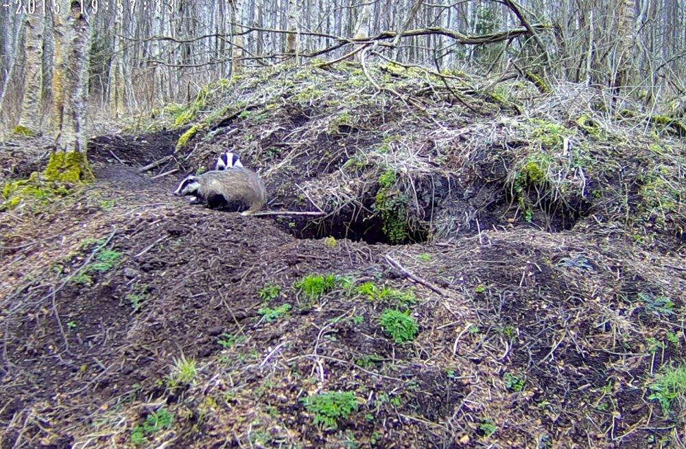 54014c9c88e RMK looduskaamera jälgib pisipere ootel mägrapaari - Maaleht