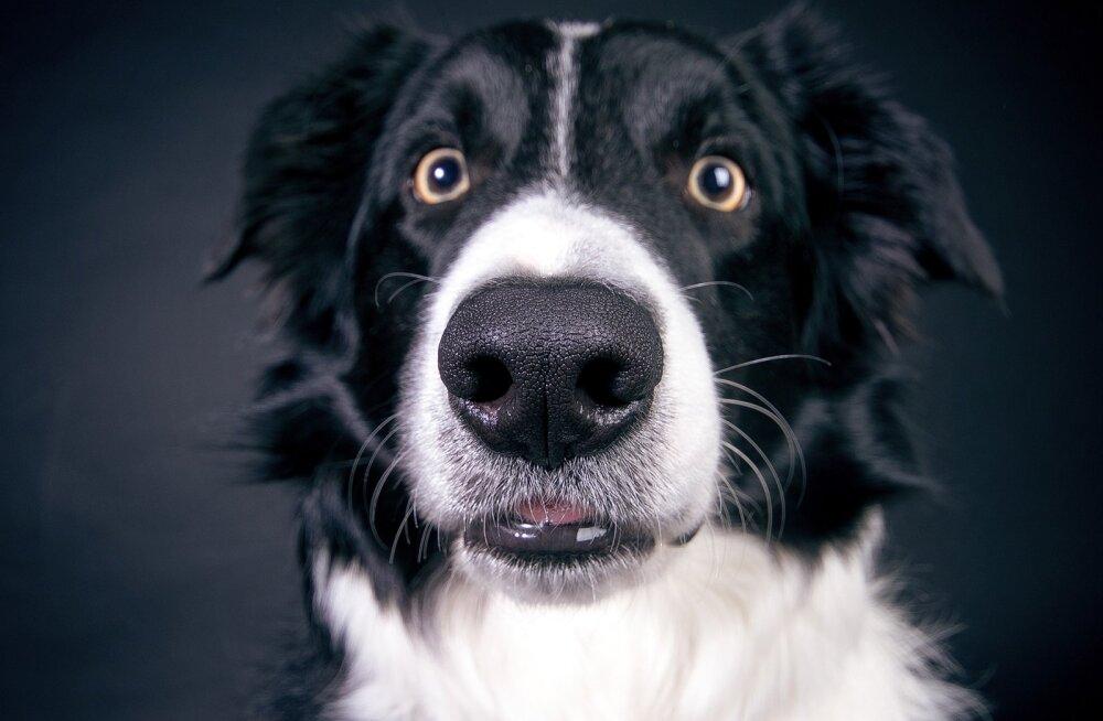 Miks koertel vurrud on?