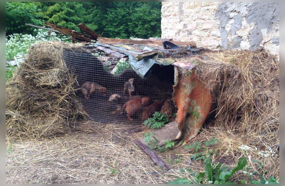 Kuusalust avastati koeravabrik: süüdimatult paljundati ja müüdi siseparasiite täis, vedelikupuuduse käes kannatavaid ja alatoidetud kutsikaid