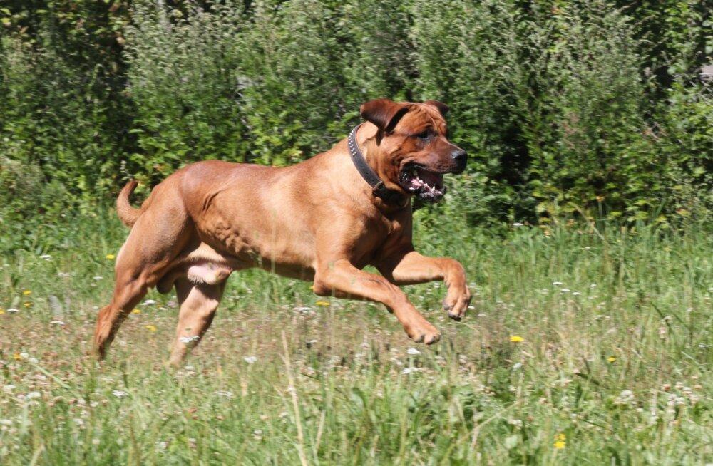 Boerboel – koer, keda sul ei tohi olla