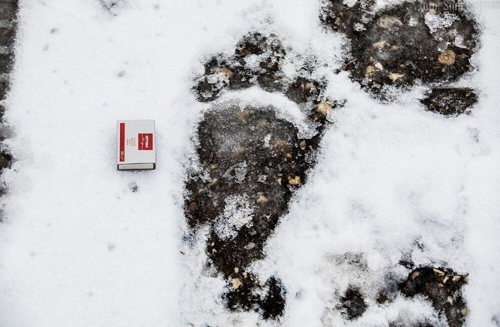 ФОТО: По Рапла разгуливала медведица с тремя медвежатами