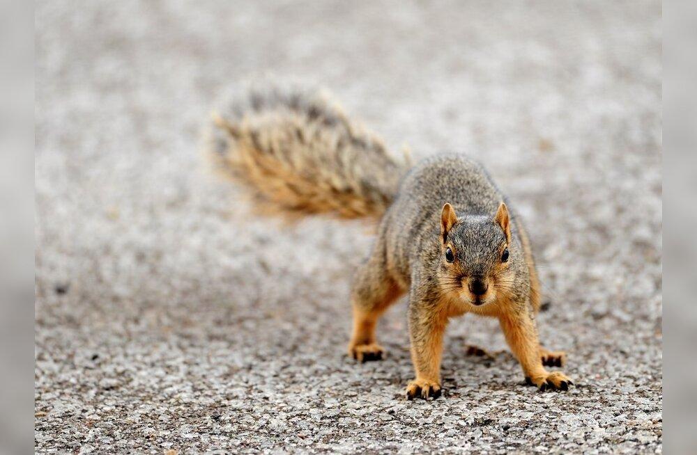 VIDEO: Texase politseinik kaitses end oravapoja eest pisargaasiga