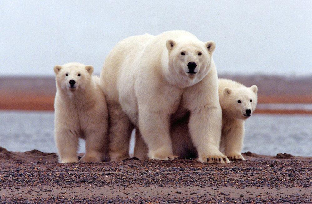 Hädaolukord arktilistel Vene saartel: jääkarude pealetung sunnib inimesi pagema