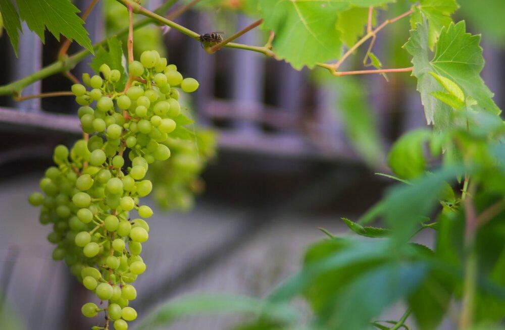 В ботаническом саду пройдут тематические дни винограда
