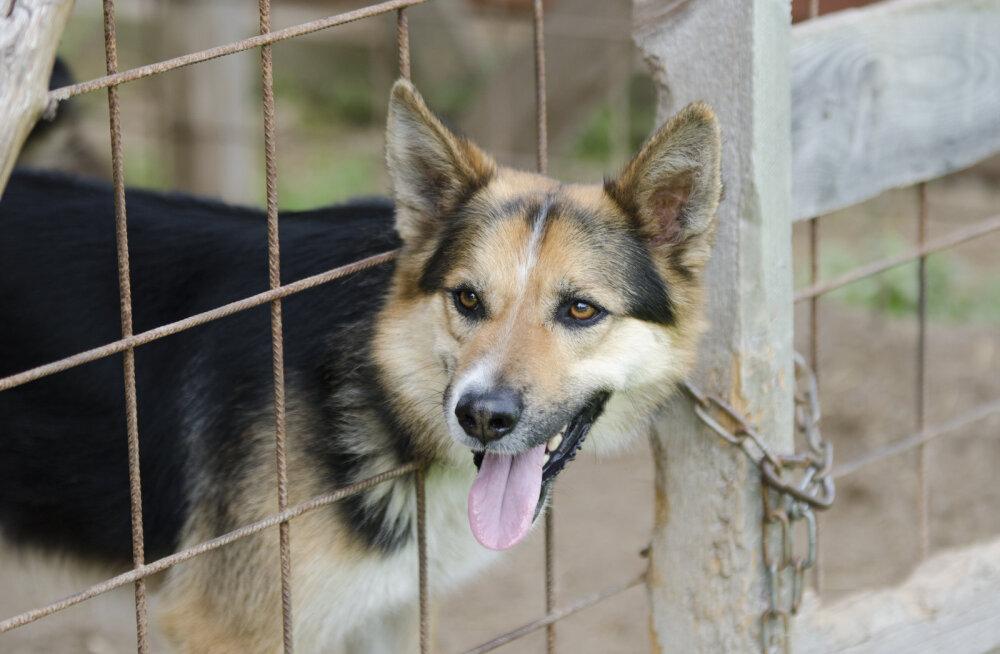 Kuidas tagada, et kadunud koer tagasi koju jõuab?