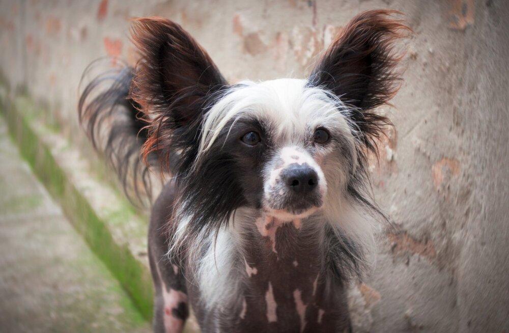 TEST | Pane end proovile ja vaata, kas sa tunned ära need kummalised ja haruldased koeratõud!