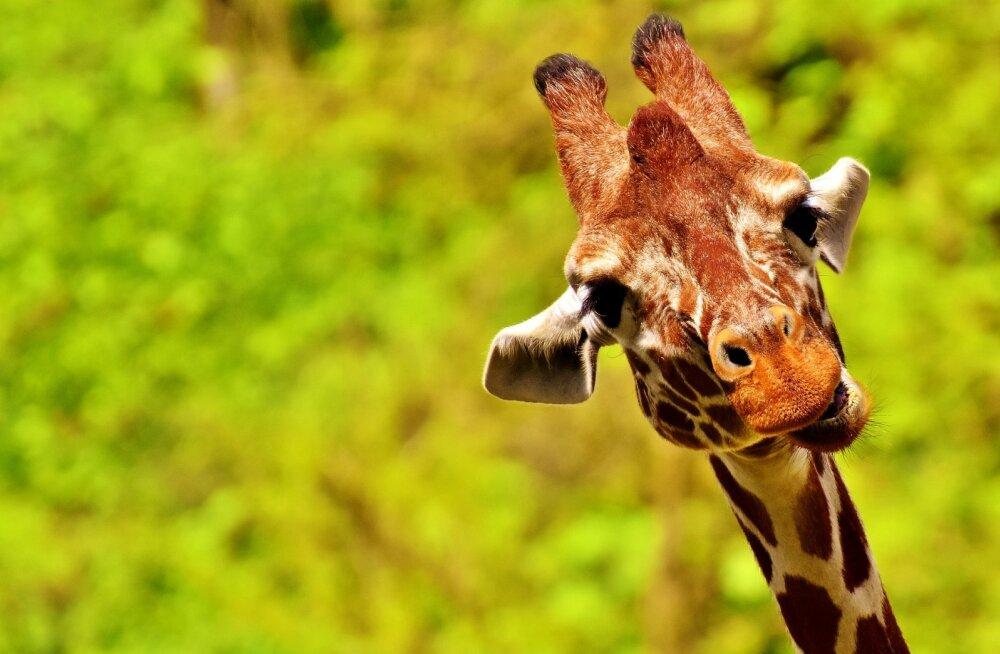 TOP 10 | Väsitavad armumängud: need on kõige kummalisema ja ebaharilikuma paaritumistaktikaga loomad