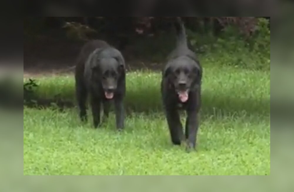 KURIOOSUM | Ulakad koerad viskasid postiljonile paraja vembu ja omanik pidi vabandama