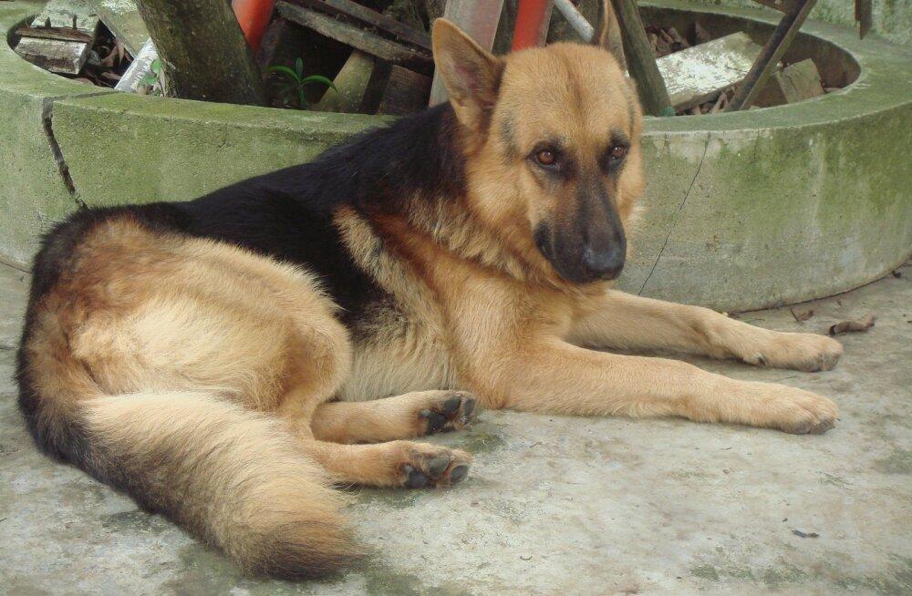 Päästjad tõid kuivatišahti kukkunud koera sealt elusalt välja