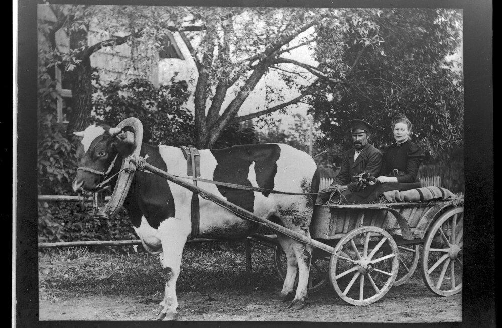 Härjatransport