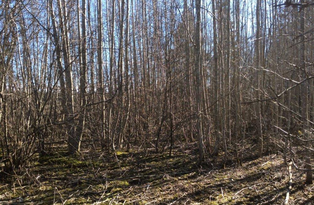 Erametsaliit pakub põlevkivile kliimasõbralikuks alternatiiviks väheväärtuslikku puitu