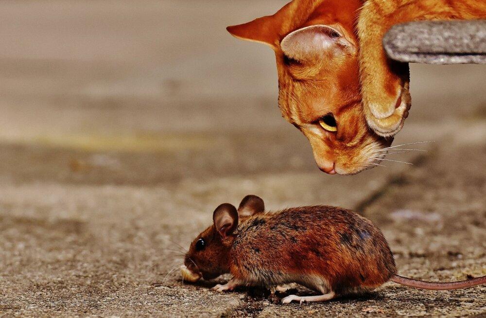 Ebameeldiv üllatus: miks kassid surnud loomi koju tassivad?