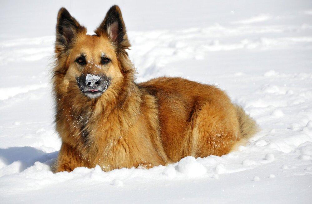 NIPID | Talvel tuleb koera eest hoolitsedes nendele asjadele tähelepanu pöörata