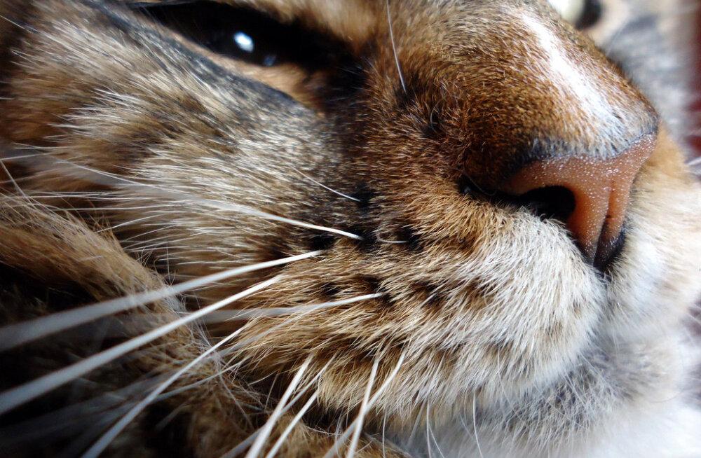 Miks on kassil vaja vurre? Mõned põnevad faktid ja tähelepanekud