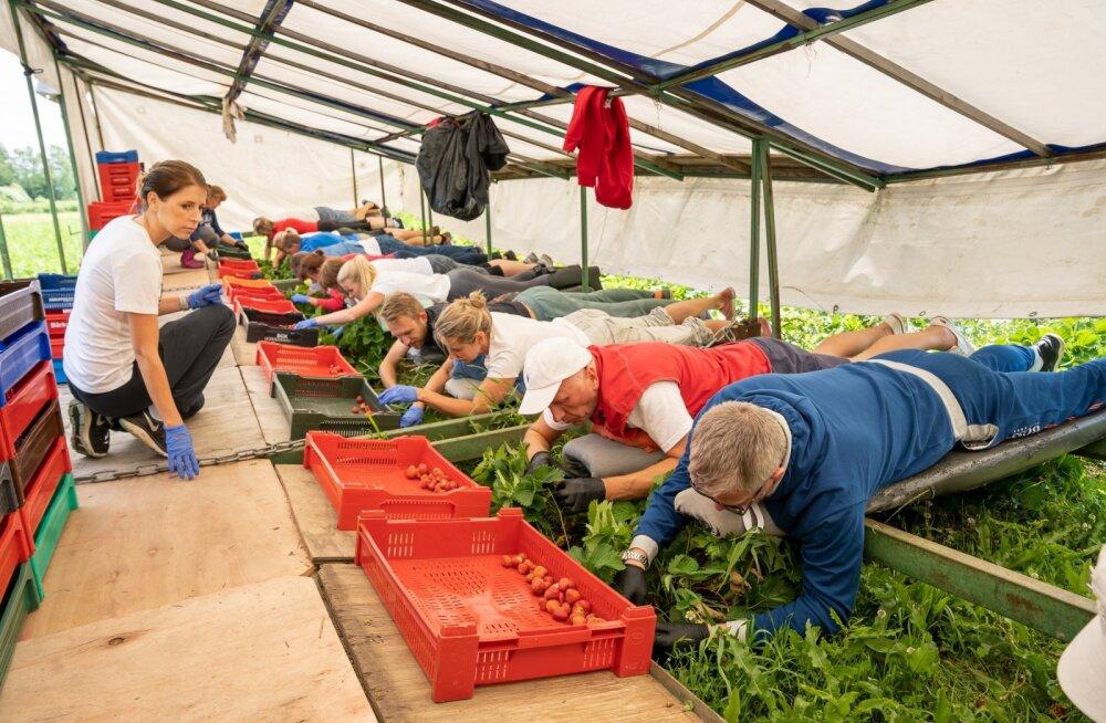 Marjamaa maasikatalu pidav Elke Lillemets (vasakul) juhendab Tere ja Farmi kontoritöötajaid, kes 2. juulil tema põldudel maasikaid korjasid.
