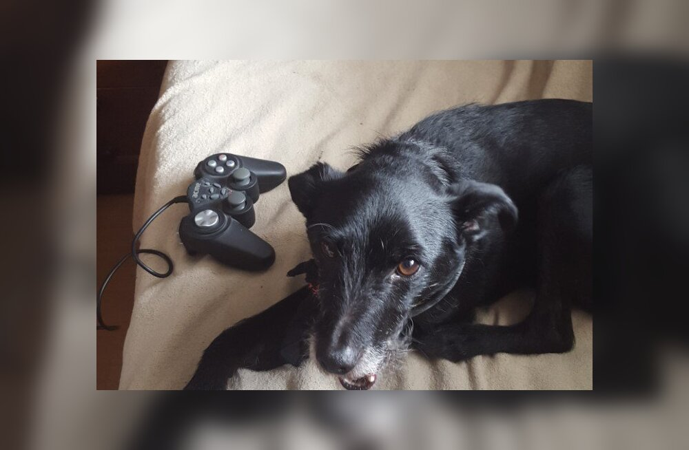 FOTOD | Elu läbi väärkoheldud koerte silmade: Soomes puruks pekstud käpaga Thor kohtus Eestis Hispaania prügimäelt leitud pruudi Cassandraga