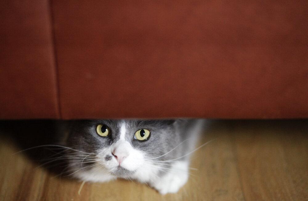 Kass pidevalt magab: kuidas võita oma kassi tähelepanu?