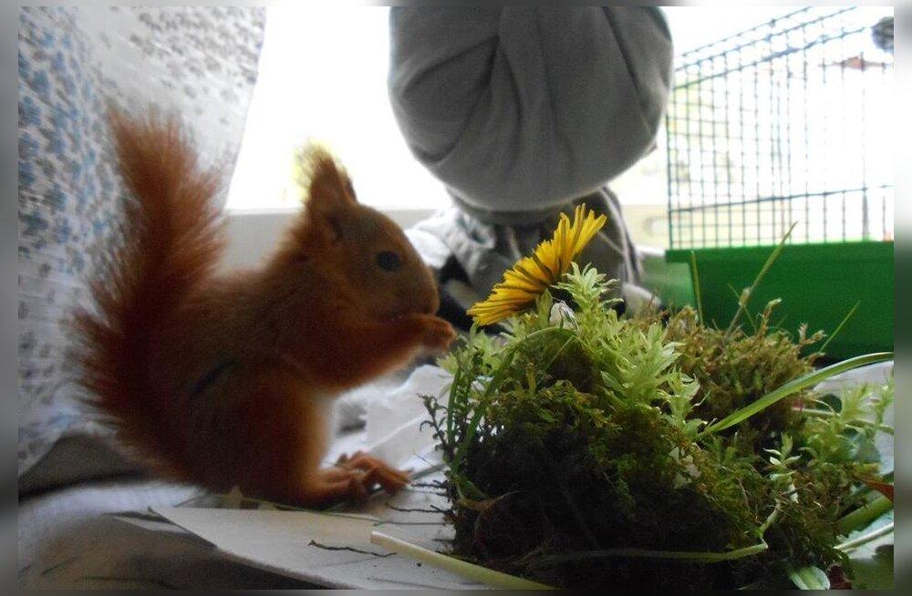 Oravapoeg otsib kodu