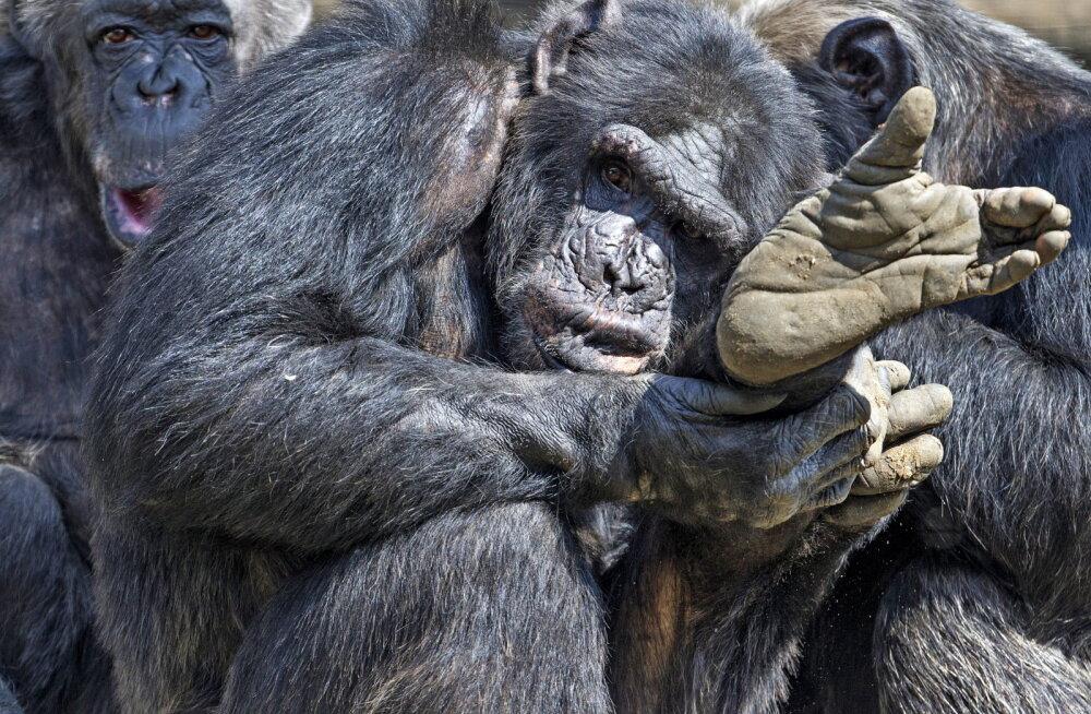 Võim, kadedus ja ambitsioonid põhjustasid šimpanside seas nelja-aastase verise kodusõja