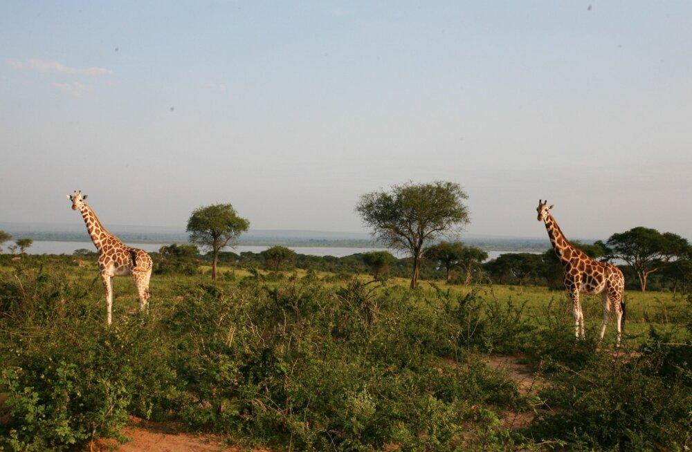 Või paelub sind hoopis Uganda savann?