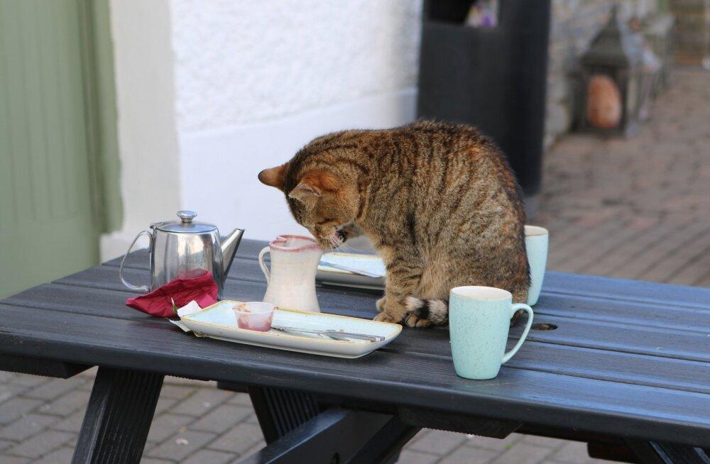 Ebameeldiv komme: mida teha, kui kass kipub söögilauale ronima?