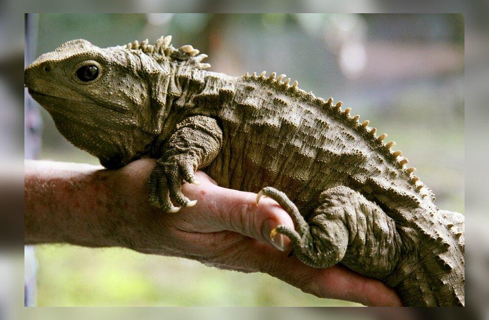 VIDEO: Uus-Meremaa roomaja närib toitu imetaja vääriliselt