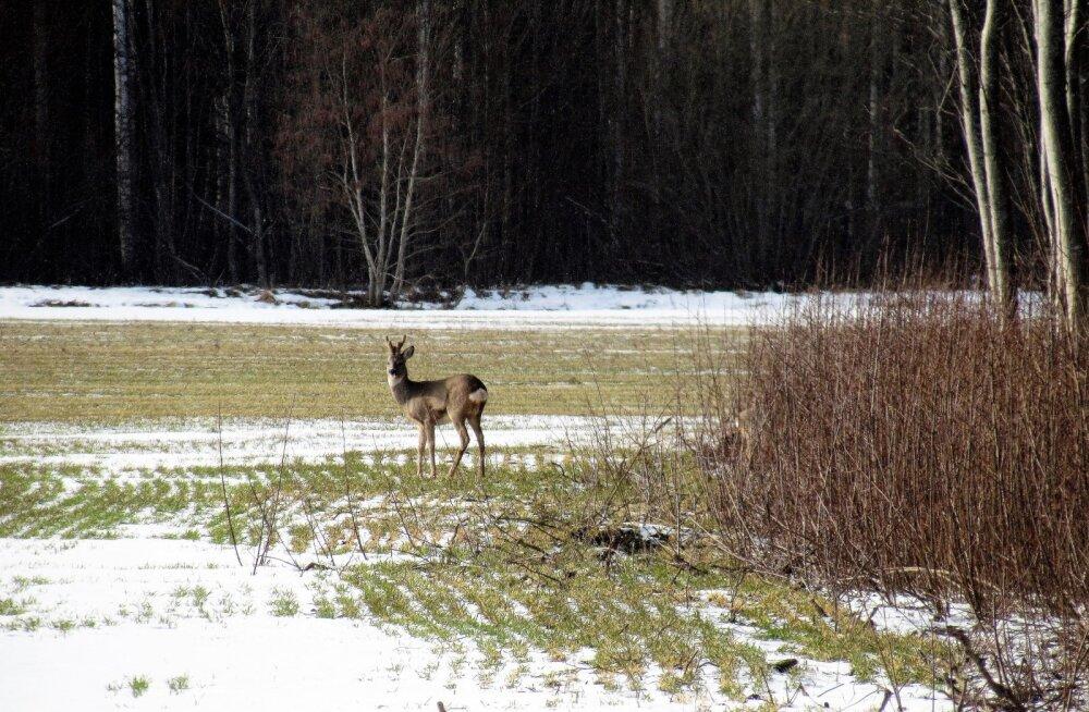 Leili metsalood | Metskitsed elasid talve hästi üle