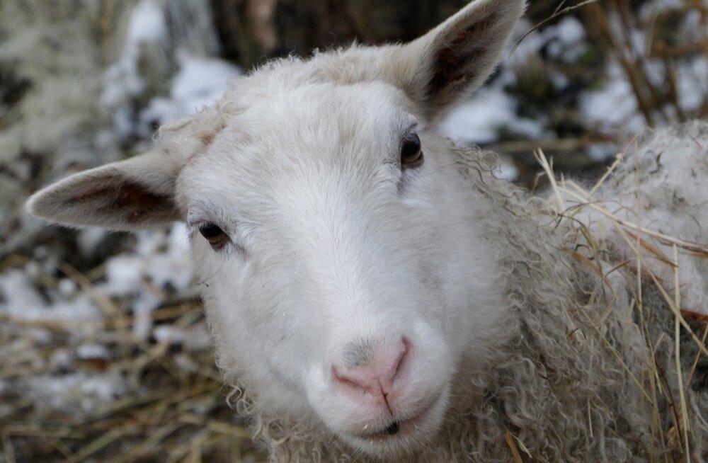 Kitsed, lambad