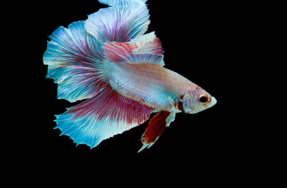Silmatorkava välimusega kalal on oma raevu demonstreerimiseks eriskummaline viis