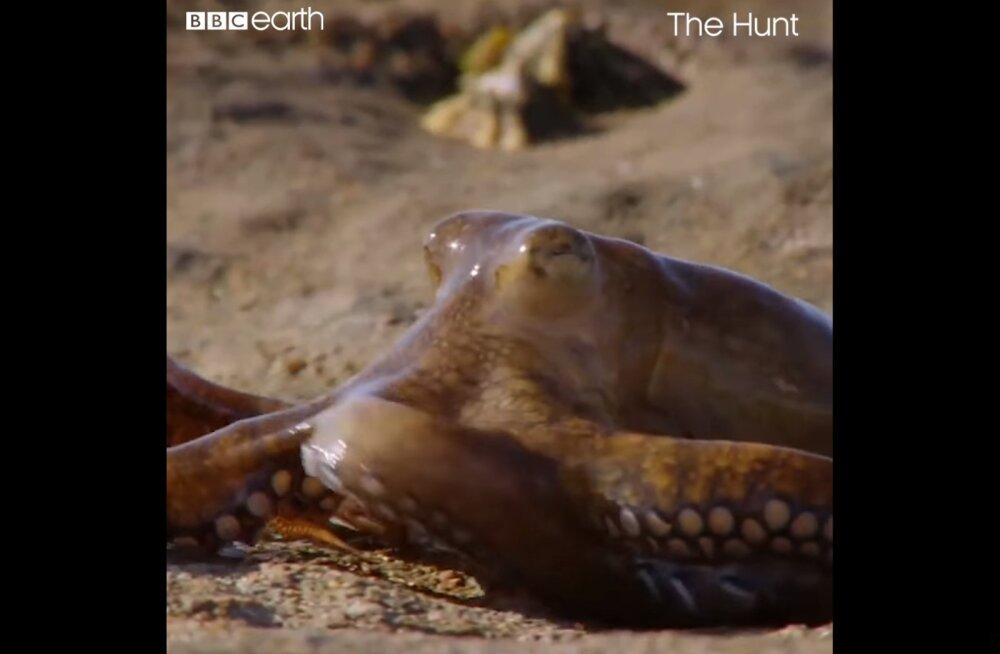 HÄMMASTAV VIDEO | Kaheksajalg suudab jahti pidada ka maapinnal