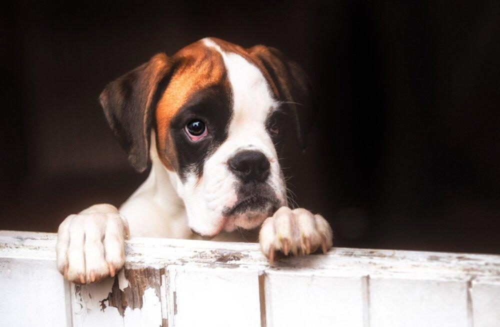 Ilutulestikust tulenev mürareostus on nõnda suur, et võib koerte kõrvades füüsilist valu tekitada.