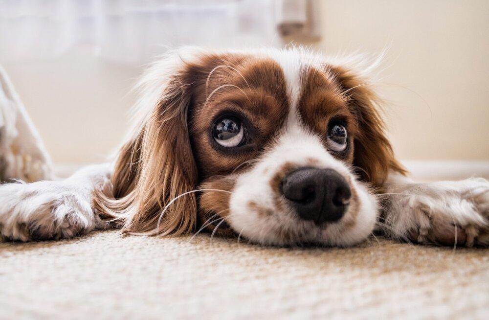 Mis on normaalne? Kui kaua võib koer üksinda kodus olla?