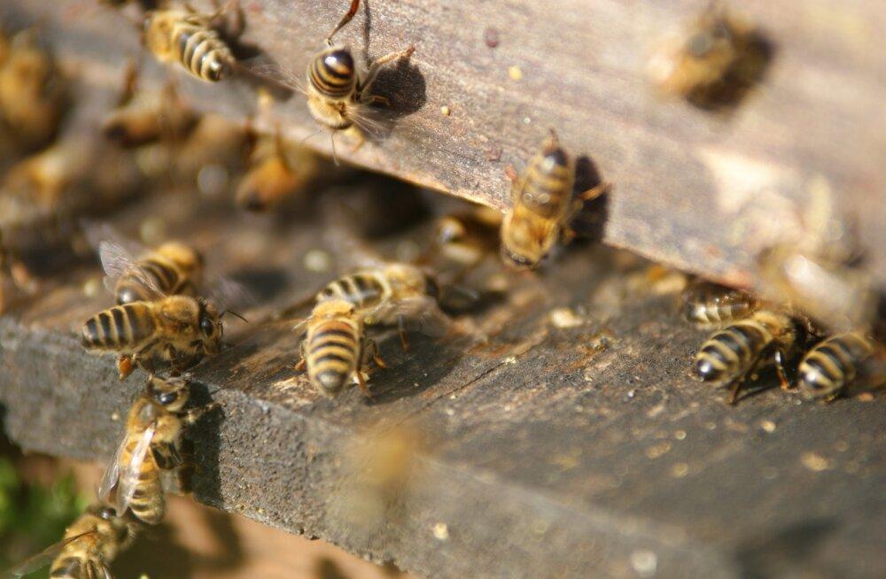 Uuring: mesilased eelistavad puhtale toidule fungitsiididega saastunut