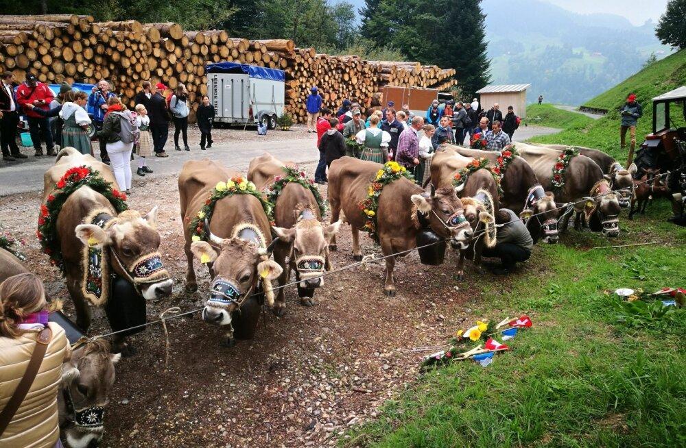 Osa Šveitsi farmereid on seisukohal, et lehmadele tuleks sarved alles jätta – kas või selleks, et oleks, kuhu vanikuid ja pärgi kinnitada, kui lehmad 1. oktoobril traditsiooni kohaselt pidulikult mägikarjamaadelt alla talvekortereisse tuuakse.