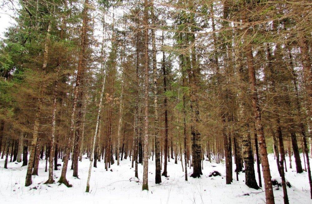 Leili metsalood | Milline võib olla 40aastane mets?
