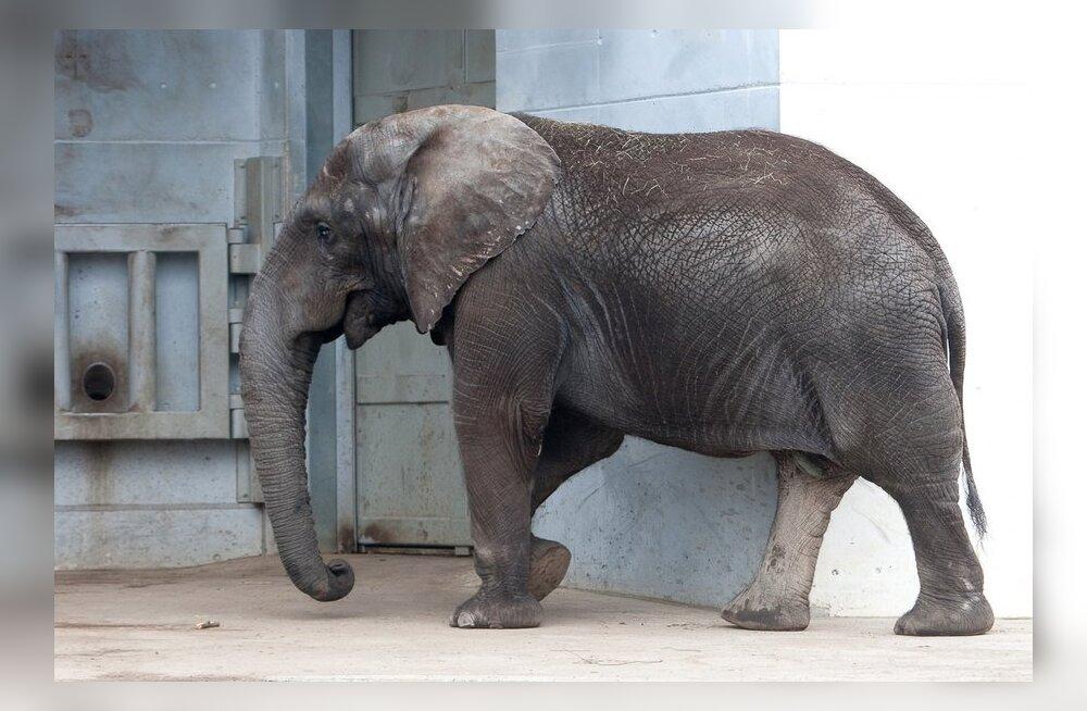 Avastus: elevantidel on kuus varvast