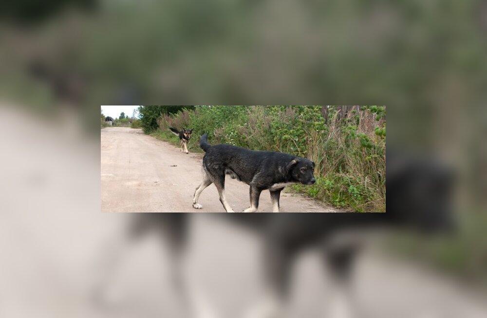 Harku vallas tegutseb koertemürgitaja?