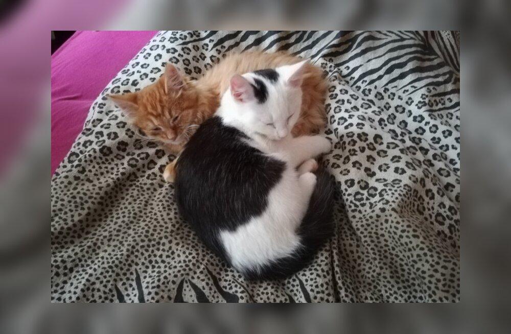 VIDEO | Lucky ja Lamborgini lugu: mis on saanud Sillamäel mürgitatud kassidest? Vennad hoiavad teineteisest kinni