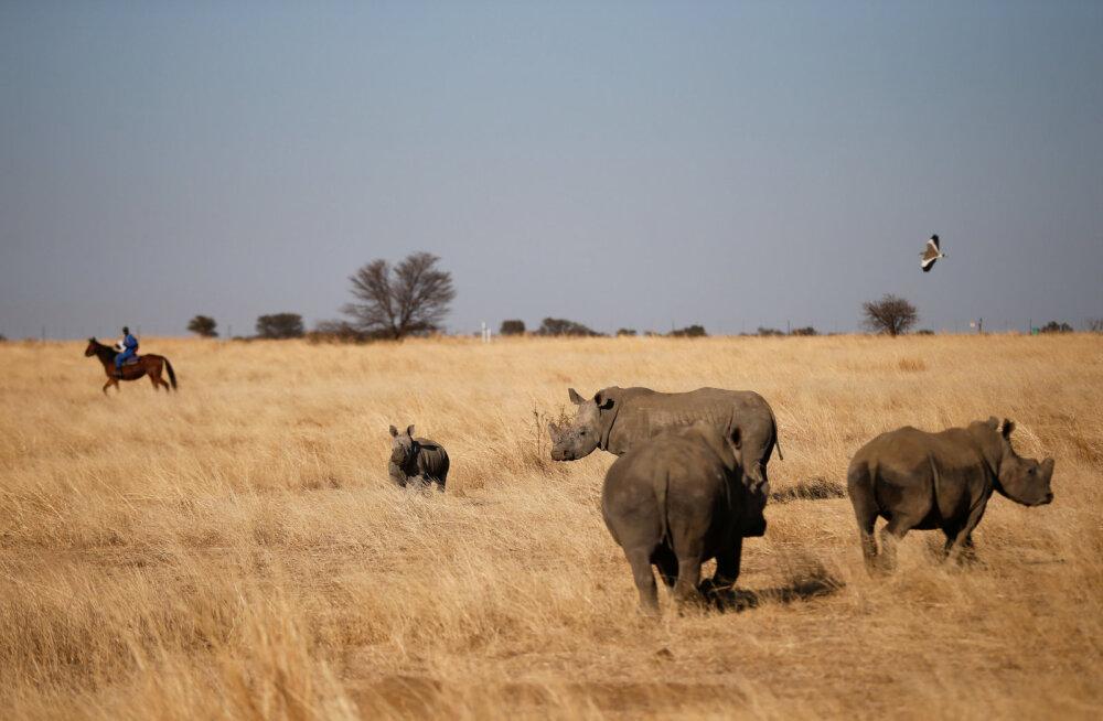 Looduskaitsjad nördinud: Lõuna-Aafrikas läks legaalsel oksjonil müüki pool tonni ninasarvikusarvi